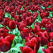 10 x Tulip 'National Velvet' Bulbs - Perennial Spring Flowers