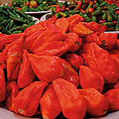 Chilli Pepper 'Naga Jolokia' (Very hot) - 1 packet (6 chilli pepper seeds)