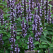 Agastache hybrida 'Astello Indigo' - 1 packet (15 seeds)