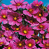 Cosmos bipinnatus 'Versailles Tetra' - 1 packet (100 seeds)