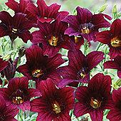 Salpiglossis sinuata 'Black Trumpets' - 1 packet (50 seeds)