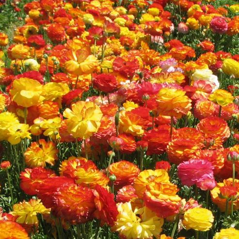 Ranunculus 'Picotee Mix' - 100 bulbs