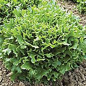 Lettuce 'Mazur' (Loose-Leaf) - 1 packet (250 lettuce seeds)