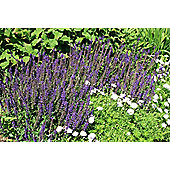 sage (syn. Salvia May Night) (Salvia ? sylvestris 'Mainacht')
