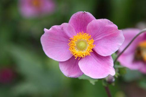 windflower (Anemone hupehensis 'Hadspen Abundance')
