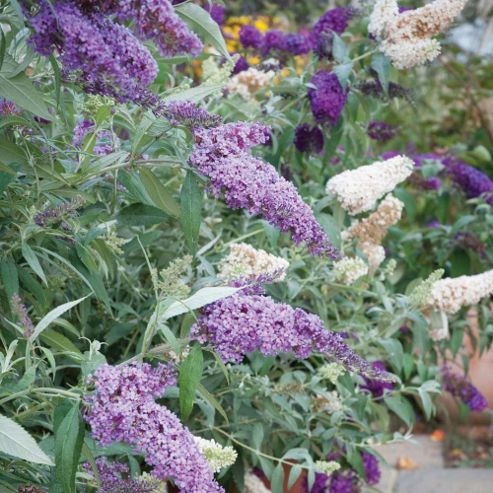 Buddleja 'Buzz'™ Collection - 3 jumbo plugs - 1 of each variety