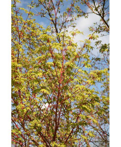 coral-bark maple (Acer palmatum 'Sango-kaku')