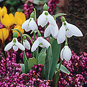 Snowdrop (Giant) - 20 bulbs