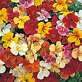 Mimulus x hybridus 'Mystic Mixed' F1 Hybrid - 1 packet (40 seeds)