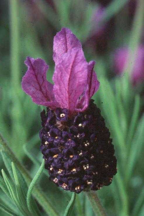 lavender (Lavandula 'Fathead')