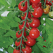 Tomato 'Sweet Aperitif' F1 Hybrid - 1 packet (10 tomato seeds)