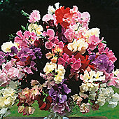 Sweet Pea 'Floral Tribute' - 1 packet (45 seeds)