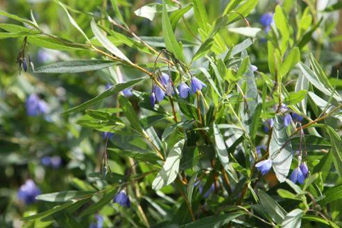 bluebell creeper (Sollya heterophylla)