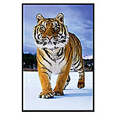 Gloss Black Framed Tiger In The Snow Poster
