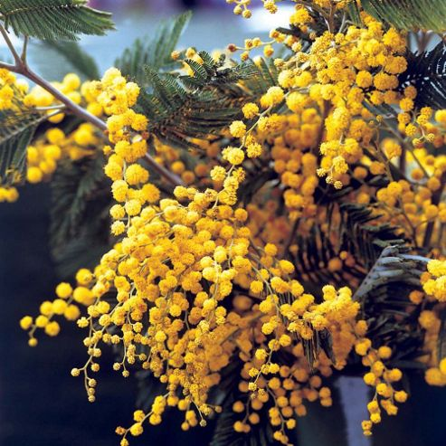 Acacia dealbata - 1 plant in 9cm pot