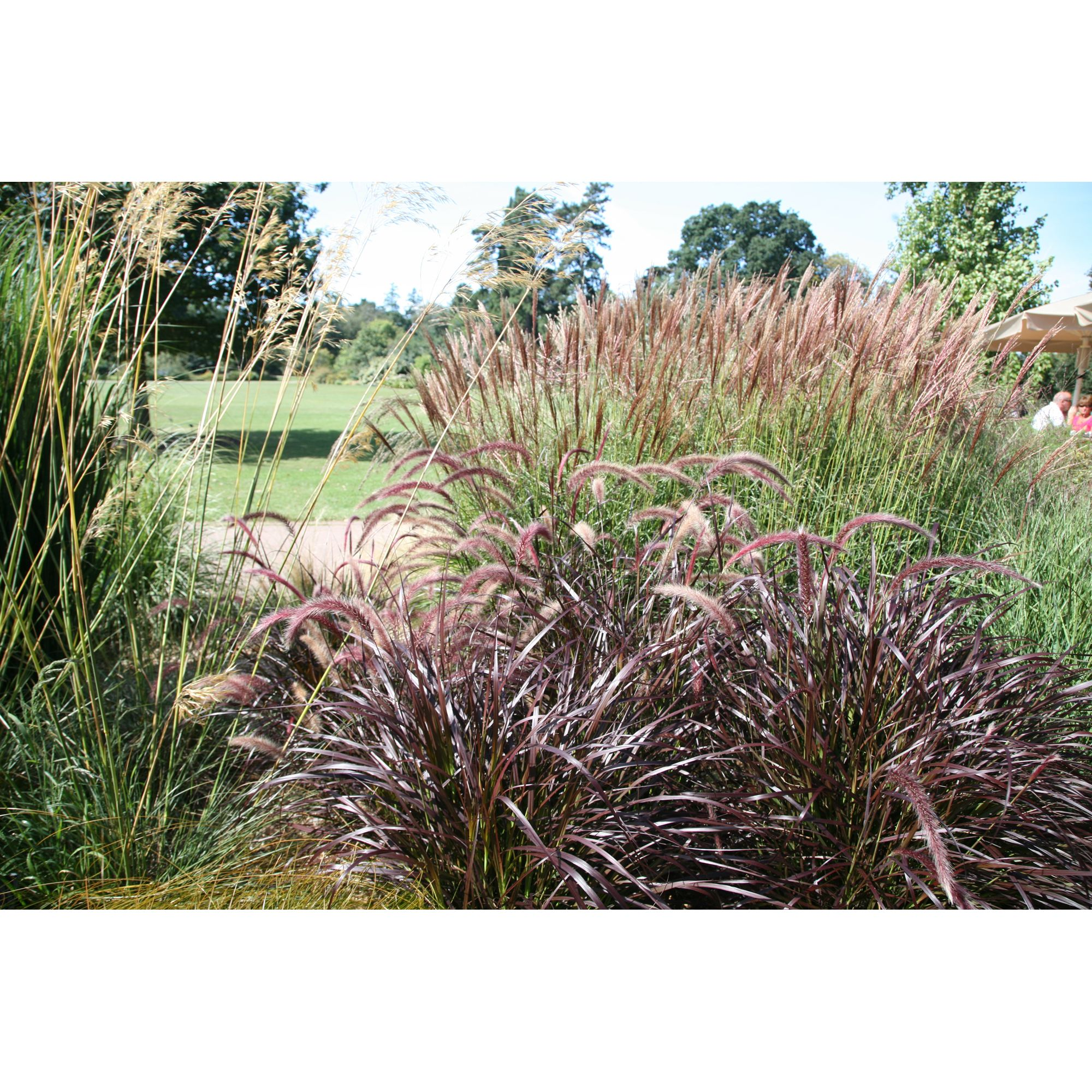 Fountain Grass (Pennisetum � Advena Rubrum)