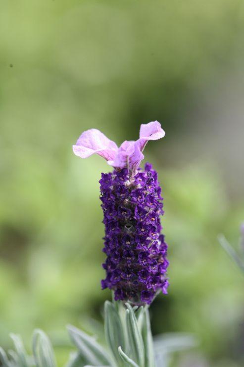 lavender (Lavandula 'Helmsdale' (PBR))
