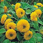 Sunflower 'Teddy Bear' - 1 packet (40 seeds)