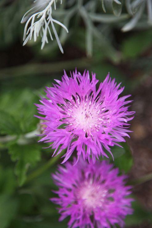 knapweed (Centaurea 'John Coutts')