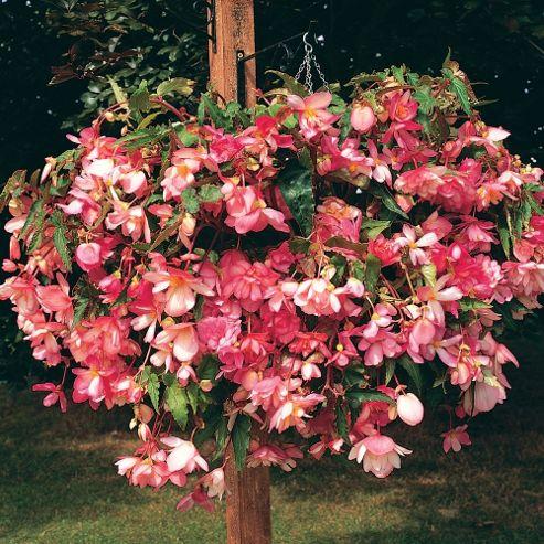 Begonia x tuberhybrida 'Chanson Pink & White Bicolour' F1 Hybrid - 1 packet (30 seeds)