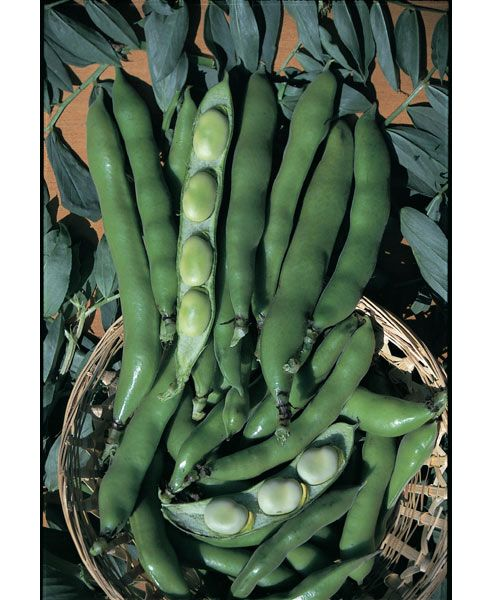broad bean (broad bean 'The Sutton')