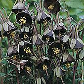 Aquilegia viridiflora 'Chocolate Soldier' - 1 packet (20 seeds)