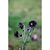 granny's bonnet (Aquilegia vulgaris var. stellata 'Black Barlow')