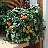 Tomato 'Tumbling Tiger' F1 Hybrid - 1 packet (10 tomato seeds)