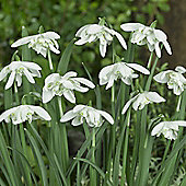 10 x Galanthus Nivalis 'Flore Pleno' (Snowdrop) Bulbs - Perennial Early Spring Flowers
