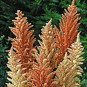 Amaranthus paniculatus 'Autumn Palette' - 1 packet (1000 seeds)