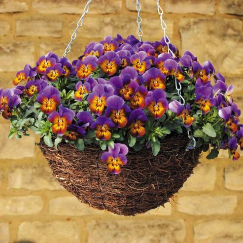 Pansy 'Avalanche Bronze Lavender' (Trailing) - 72 plugs