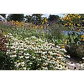 coneflower (Echinacea purpurea 'White Swan')