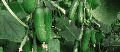 how to grow picolino cucumber