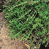 Thyme 'Old English' - 1 packet (500 seeds)