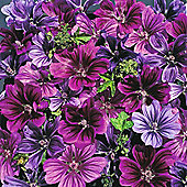 Malva sylvestris 'Mystic Merlin' - 1 packet (40 seeds)