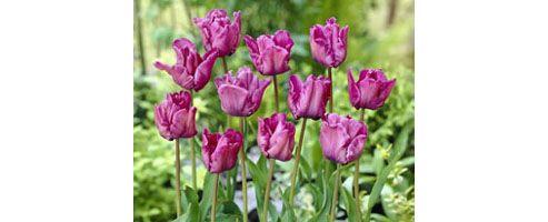 parrot tulip bulbs (Tulipa 'Blue Parrot')