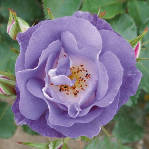 Rose 'Blue for You' (Floribunda Rose) - 1 bareroot plant
