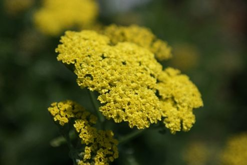 yarrow (Achillea 'Taygetea')