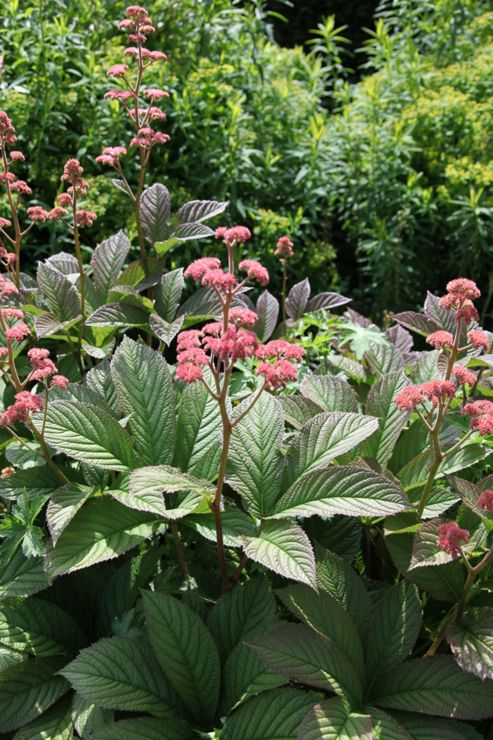 rodgersia (Rodgersia pinnata 'Superba')