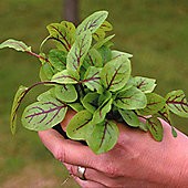 Sorrel 'Blood Veined' - 1 packet (300 seeds)