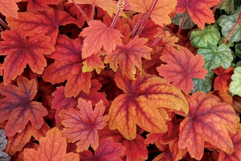 coral bells (? Heucherella 'Sweet Tea')