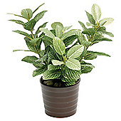 22CM FITTONIA IN CERAMIC POT - GREEN / WHITE