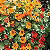 Nasturtium 'Firebird' - 1 packet (30 seeds)