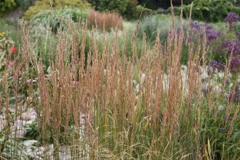 feather reed grass (Calamagrostis ? acutiflora 'Overdam')