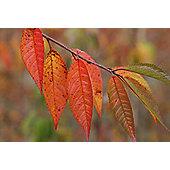 autumn cherry (Prunus ? subhirtella 'Autumnalis')