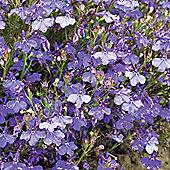 Lobelia pendula 'Monsoon' - 1 packet (650 seeds)