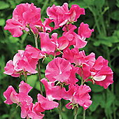 Sweet Pea 'Robert Uvedale' - 1 packet (25 seeds)