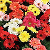 Gerbera jamesonii 'T&M Mixed' F2 Hybrid - 1 packet (30 seeds)