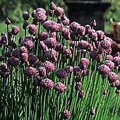 Chives - 1 packet (1000 seeds)