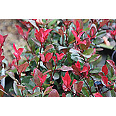 christmas berry (Photinia ? fraseri 'Little Red Robin')
